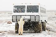 CANADA, Churchill.Polar bear (Ursus maritimus) and tundra vehicle