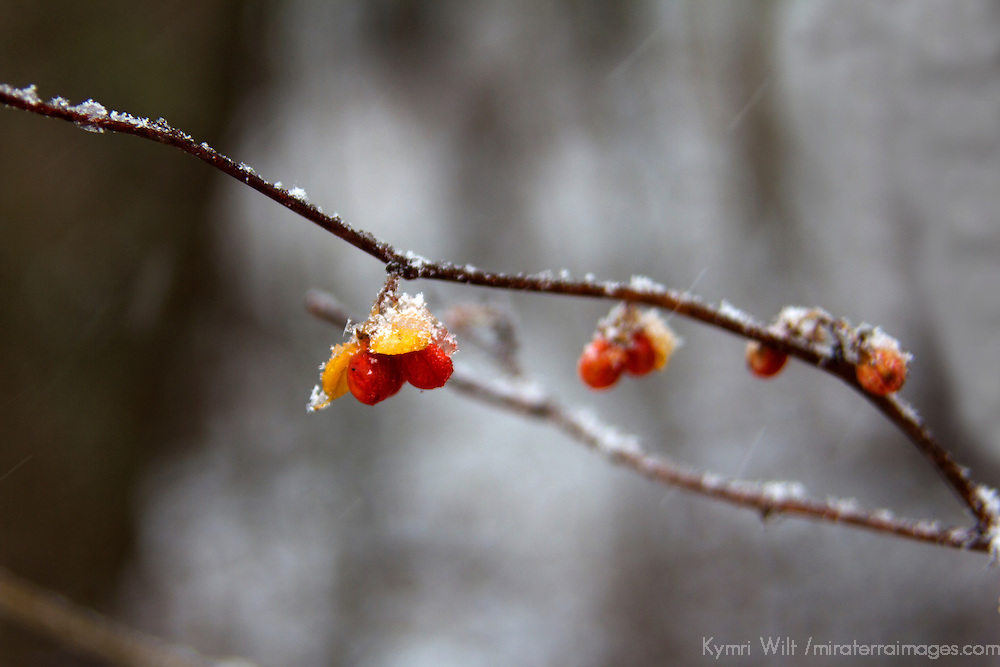 USA, Illinois, Darien. Winter frost and berries in Oldfield Oaks Forest Preserve.