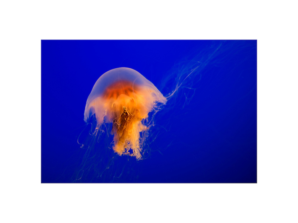 Glowing Jellyfish - Monterey Bay Aquarium