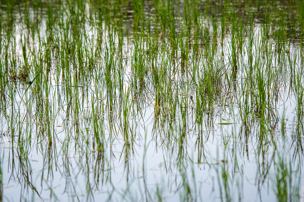 Close up of African Rice (Oryza glaberrima) growing in water, Gbedin village, Nimba County , Liberia