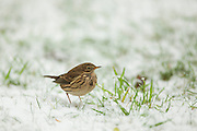 Meadow pipit on snow-covered grass in an urban garden.