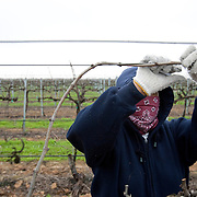 Campesinas work the fields tying grape vines near Fresno, California. Please contact Todd Bigelow directly with your licensing requests.