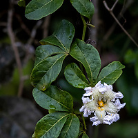 A flower blooms from a vine on Pahuachiro Creek off of Maranon River in the Peruvian Amazon.
