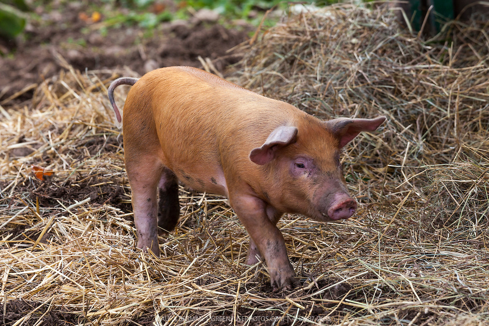 A Tamworth piglet investigates the barnyard. Tamworths are among the oldest of pig breeds. They are ginger to red in color and are thought to have descended from wild boars, via native pig stock of Europe.  Alternate names for this animal are Sandy Back and Tam.