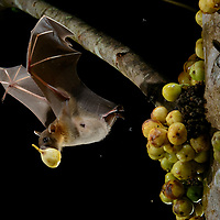 A Short-nosed Fruit Bat (Cynopterus brachyotis) flies off with a ripe fig (Ficus fistulosa) it has selected. Rather than eating on the spot, the bat will carry the fig off to a favorite perch where it can dine in safety, thus helping to spread the tree's seeds. Sarawak, Malaysia.