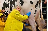 Roma 6 Febbraio 2015<br /> Manifestazione in Campidoglio, per &laquo;difendere il latte italiano&raquo;, organizzato dalla Coldiretti, e l&rsquo;Associazione italiana allevatori che  hanno portato le  mucche  nelle piazze italiane per sensibilizzare opinione pubblica e istituzioni sulla crisi del settore lattiero-caseario. Il ministro del Lavoro Giuliano Poletti,munge una mucca in piazza del Campidoglio.<br /> Rome February 6, 2015<br /> Demostration  at the Capitol, to &quot;defend the Italian milk&quot;, organized by Coldiretti, and the Association of Italian farmers who brought the cows in the Italian squares to sensitize public opinion and institutions on the crisis of the dairy sector. The  Minister Labour  Giuliano Poletti, milking a cow in Capitol Square.