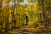 Yellow fall aspen colors along Ouray County Road 5, in Uncompahgre National Forest, Ridgway, Colorado, USA.