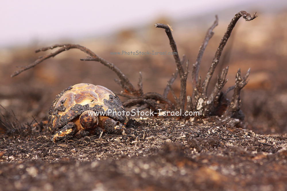 Close up of a Spur-thighed Tortoise or Greek Tortoise (Testudo graeca) in a field. photographed in Israel in October
