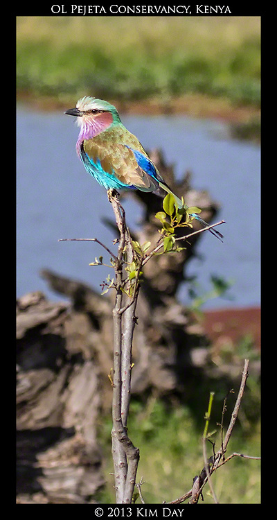 Lilac Breasted Roller<br /> OL Pejeta Conservancy - Kenya<br /> September 2012