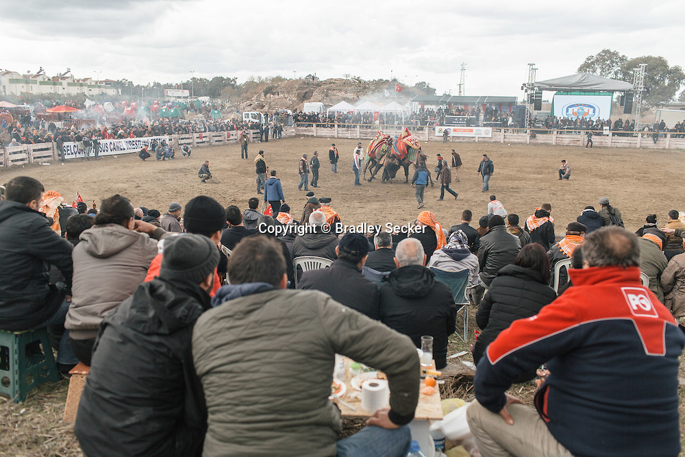 TURKEY, Izmir, Selçuk. Fans watch the 35th annual Selcuk Camel Wrestling Festival competition near Izmir, Turkey. The event usually draws large crowds of upto 20 thousand, although this year the numbers were lower due to recent security concerns and the threat of rain.