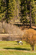 Horses, Paint mare and foal, grazing, Monture Creek, west of Ovando, Montana