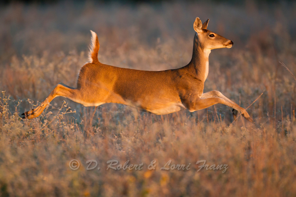 Whitetail deer, doe running in the early morning in Texas