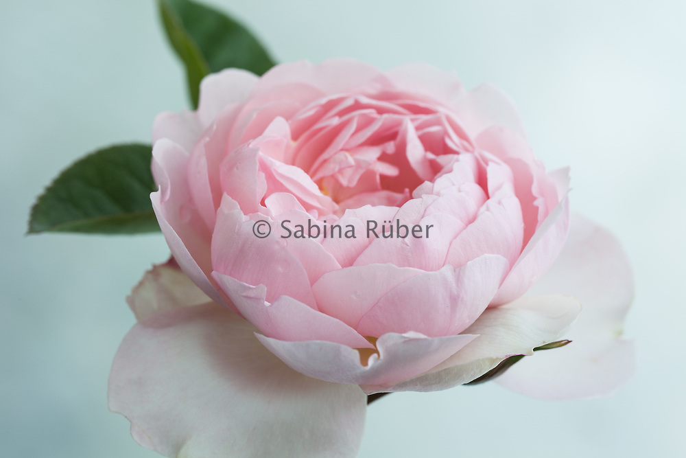 Rosa 'Gentle Hermione' - English Rose by David Austin