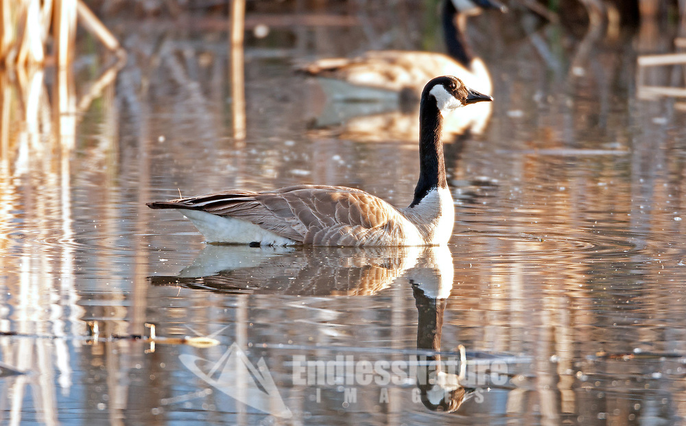 A Canadian Goose rests in a marsh pond with its mate staying close to their nest.