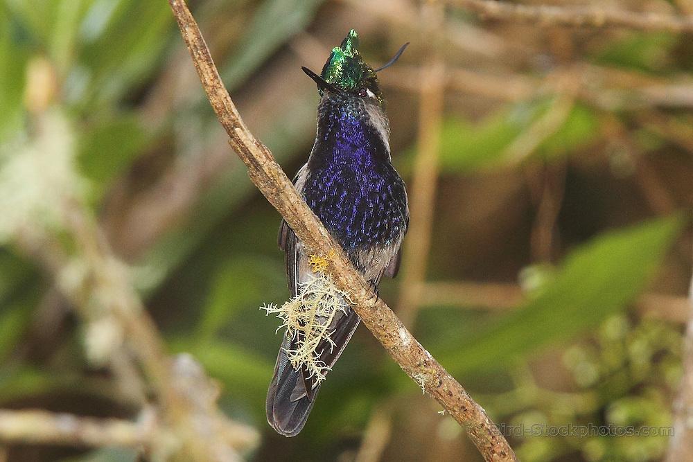 Plovercrest, (Black-breasted Plovercrest), Stephanoxis lalandi, on branch, Intervales State Park, Brazil, by Adam Riley