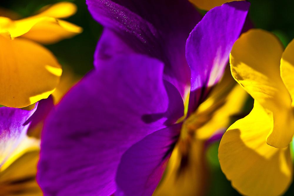 MULTIPLE SHOTS OF PANSIE FLOWER
