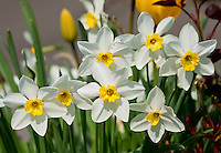 Switzerland. Springtime. A bunch of lovely narcissus.