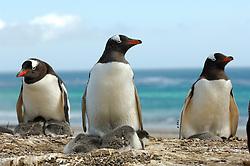 Die kleineren Pinguinarten wie der Eselspinguin (Pygoscelis papua)  können oft zwei Küken großziehen. Die zum Teil aus Garnelen bestehende Nahrung hinterläßt nach der Fütterung rote Flecken auf dem Dunengefieder dieser etwa zwei Wochen alten Jungtiere. | The smaller penguin species like the Gentoo Penguin (Pygoscelis papua) can raise two chicks. After being fed with regurgitated krill the chicks, as these approx. two-weeks-old, sometimes have red blotches on their feathers.