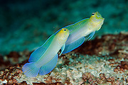 Yellowheaded Jawfish, Opistognathus aurifrons, photographed in Palm Beach County, Florida, United States.