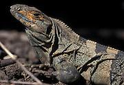 Spiny-tailed Iguana; Ctenosaura similis; Costa Rica, Santa Rosa NP