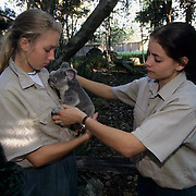 Koala (Phascolarctos cinereus) with employees at Lone Pine Koala Sanctuary in Australia.