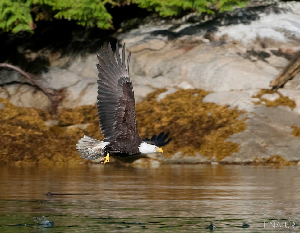 Amercian Bald Eagle with its catch.