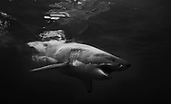 Great white shark, Carcharodon carcharias, lunging with jaws open.  Guadalupe Island, approximately 90 miles off Mexico.
