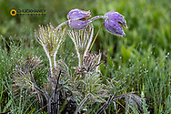 Raindrops adorn Pasqueflowers aka crocus in sping in Montana