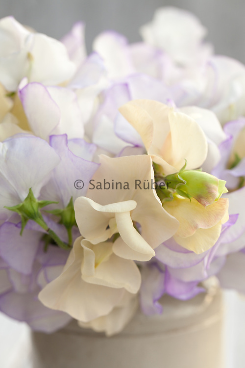 Lathyrus odoratus 'Romeo' and 'Juliet' - sweet pea