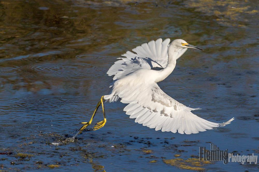 Snowy egret taking off from Ellis Creek Water Recycling Facility. Petaluma, California