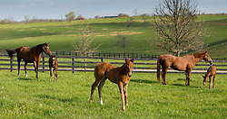 Madame Du Lac with her Orb filly, left, a Flatter colt by Seeking Gabrielle, center and Please be Discreet with her Arch filly.<br /> Hinkle Farm is home to top stakes producing mares including Derby 142 favorite Nyquist and 2016 Ashland Stakes Weep No More, Friday, April 15, 2016.