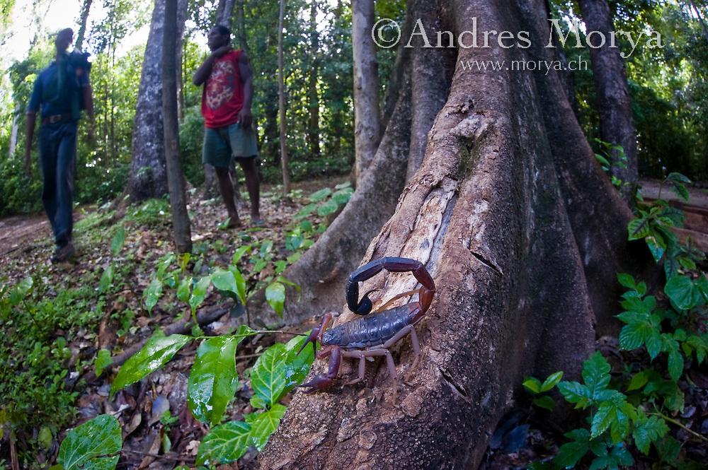 Malagasy man looking at a poison scorpion, Ankarana, Madagascar Image by Andres Morya