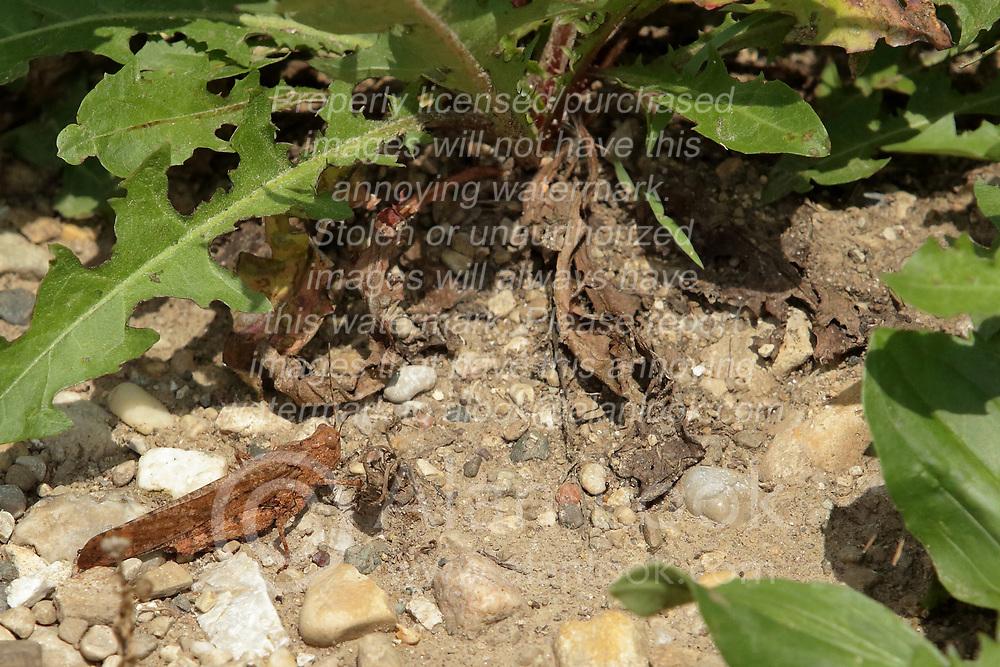 Carolina Grasshopper (Dissosteira Carolina)<br /> Finfrock State Natural Habitat Area (Illinois)