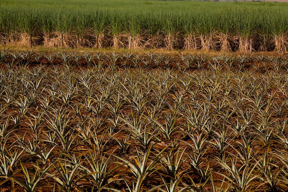 Canapolis_MG, Brasil...Plantacao de abacaxi e cana-de-acucar em Canapolis, Minas Gerais...The pineapple and sugar cane agriculture in Canapolis, Minas Gerais. ..Foto: LEO DRUMOND / NITRO