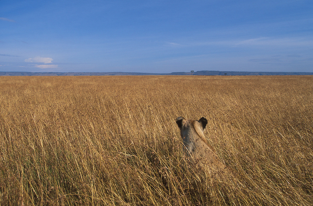 Africa, Kenya, Masai Mara Game Reserve, Adult Female Lioness (Panthera leo) in tall grass on savanna