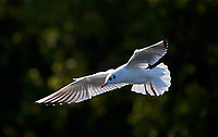 Black-headed Gull (Larus ribundus) winter plumage in flight, Hollow Ponds, Leytonstone, London , Essex, England