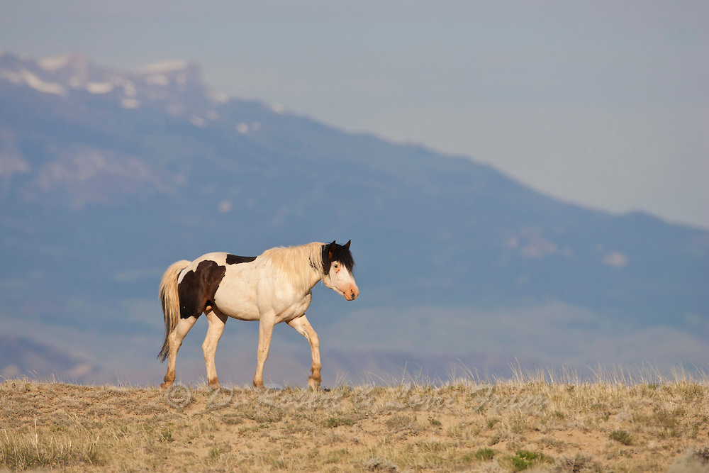 Wild mustang stallion with mountains in backgroud
