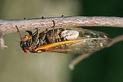Periodical Cicada; Magicicada septendecim; fungus on abdomen; <br /> Massospora cidadina;  - only parasite exclusive to periodical cicadas; <br /> USA, PA,  Bryn Mawr; June 1