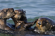 Southern Sea Otter<br /> Enhydra lutris<br /> Breeding male chasing mother with 3-6 month old pup<br /> Monterey Bay, CA, USA