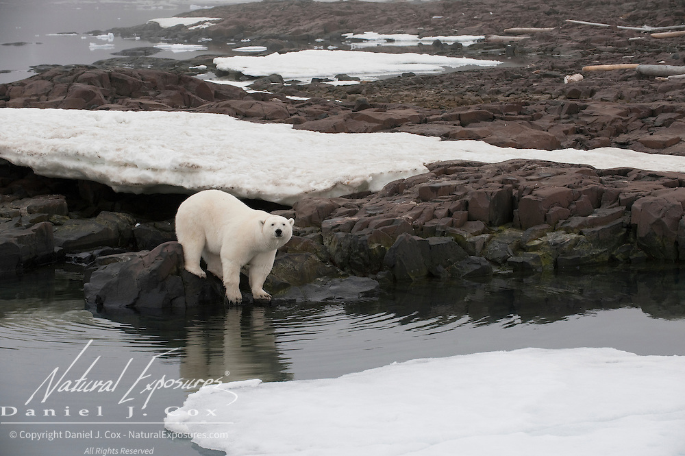 Polar bear on a rock island. Svalbard, Norway