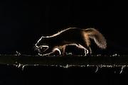 Pine marten (Martes martes) exploring pine woodland at night, Glenfeshie, Scotland.