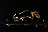 Pine marten (Martes martes) exploring pine woodland at night, Glenfeshie, Scotland.