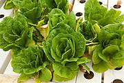 Thymebank Herbs, hydroponic farm, Marlborough, South Island, New Zealand