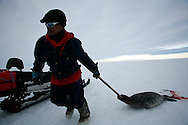 Sasa Samson, 37, the best hunter in his town, pulls a seal from his breathing hole after being killed with a rifle in Resolute Bay, Canada on Tuesday, June 12, 2007. Sasa hunts seals for food, and his community uses every part of the seals, either eating the meat or using the hides to make warm clothes. The traditional way of life in the Resolute Bay Inuit community is being threatened by rising temperatures. The dangers of global warming, which have been extensively documented by scientists, are appearing first, with rapid, drastic effects, in the Arctic regions where Inuit people make their home. Inuit communities, such as those living on Resolute Bay, have witnessed a wide variety of changes in their environment. The ice is melting sooner, depleting the seal population and leaving them unable to hunt the animals for as long. Other changes include seeing species of birds and insects (such as cockroaches and mosquitoes) which they have never encountered before. The Inuit actually lack words in their local languages to describe the creatures they have begun to see.  .. .. ..