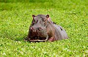 Hippopotamus among river cabbage, Grumeti, Tanzania