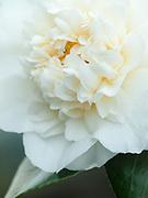 Camellia japonica 'Shiro-Chan'