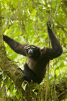 An Eastern Hoolock Gibbon (Hoolock leuconedys) adult male in a tree.