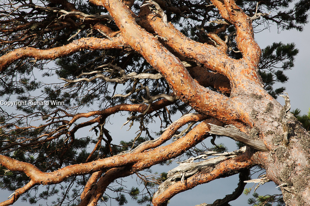 Dichotomous branches of a Caledonian pine, lit by the late afternoon sun.