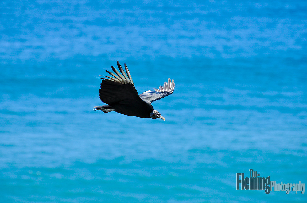 Black vulture soaring over the ocean near Nayrit, Mexico