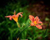 Lily Bloom. Image taken with a Leica TL2 camera and 60 mm f/2.8 macro lens